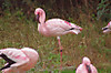 30kofuramingo1