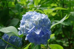 47ajisai_0222