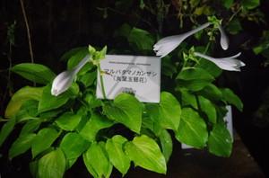 84marubatamanokanzashi_0254